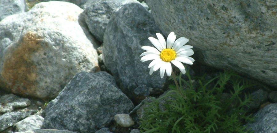 fiore-tra-le-rocce.jpg